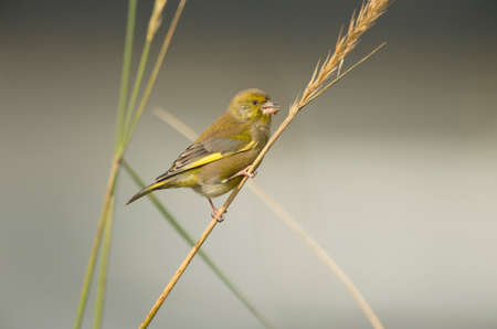greenfinch: Greenfinch, Carduelis chloris, perched on dry grass Stock Photo