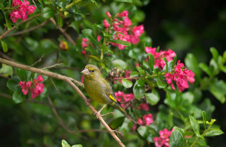 Greenfinch, perched on a branch in a tree