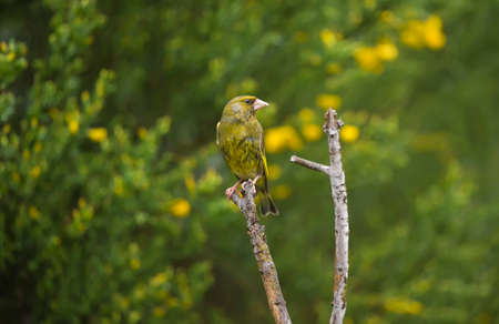 greenfinch: Greenfinch, perched on a branch, in a garden