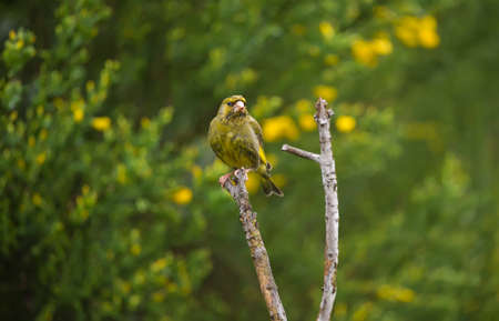 Greenfinch, perched on a branch, in a garden