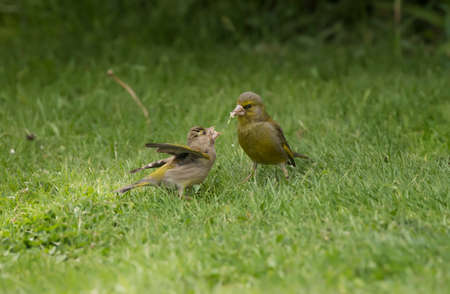 juveniles: Greenfinch juvenile, being fed on the grass