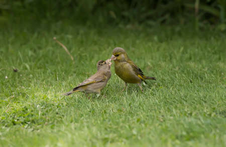 are fed: Greenfinch juvenile, being fed on the grass