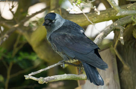 jackdaw: Jackdaw, perched on a branch, close up Stock Photo