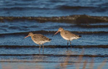 shoreline: Black-tailed godwits, Limosa limosa, on the shoreline