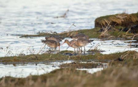 marshy: Black-tailed godwit, feeding at the edge of a marshy shoreline
