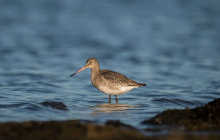 wading: Black-tailed godwit, wading in the sea