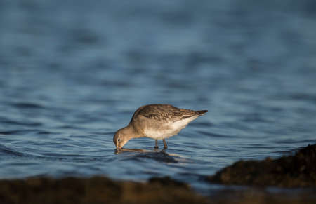 wade: Black-tailed godwit, standing in the sea, feeding