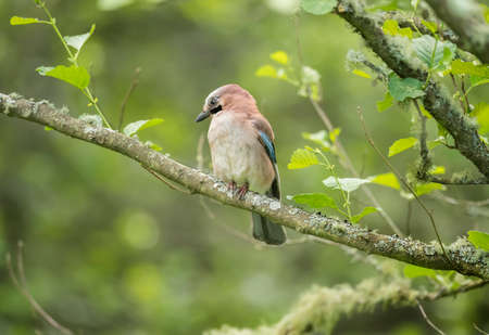 jay: Jay, juvenile, perched on a branch in a forest