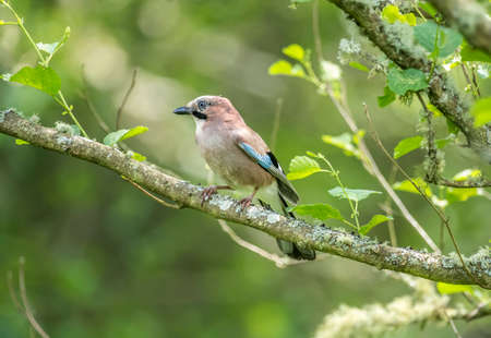 juvenile: Jay, juvenile, perched on a branch in a forest