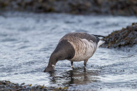 brent: Brent goose feeding in the sea, close up