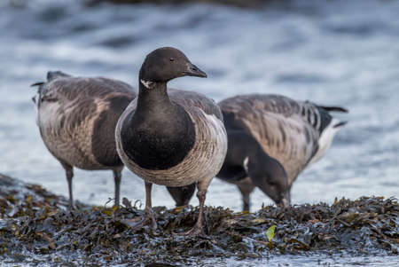 brent: Brent geese feeding by the sea, close up Stock Photo