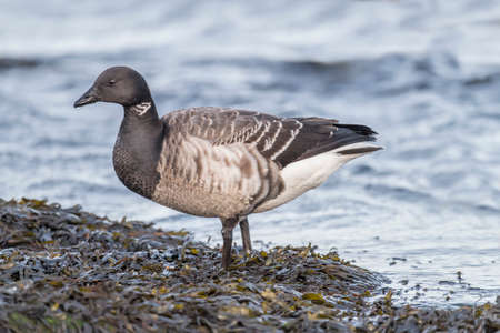 brent: Brent goose by the sea, close up