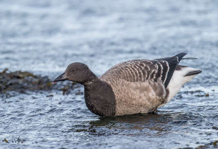 brent: Brent goose in the sea, close up Stock Photo