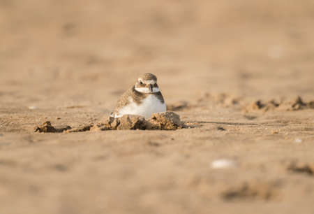 ringed: Ringed plovers sitting in a hole in the sand
