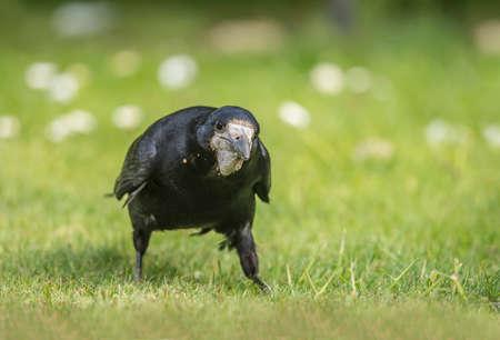 corvus: Rook, Corvus frugilegus, on the grass, close up
