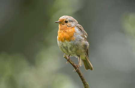 redbreast: Robin redbreast, juvenile, perched on a branch, close up