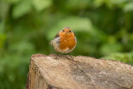 erithacus rubecula: Robin redbreast perched on a tree trunk
