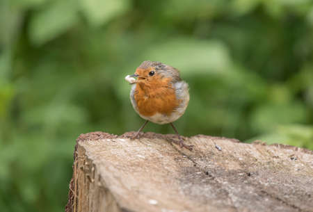 redbreast: Robin redbreast, perched on a tree trunk close up, eating