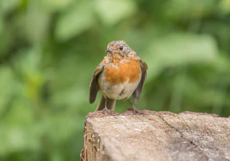 redbreast: Robin redbreast, juvenile, perched on a tree trunk close up