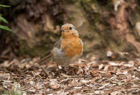 redbreast: Robin redbreast, perched on the forest floor, close up
