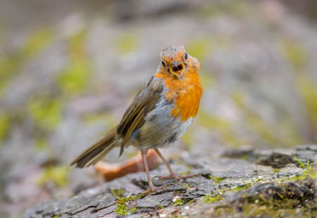 tweeting: Robin redbreast, juvenile, perched on a tree trunk, close up, tweeting Stock Photo