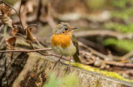 erithacus rubecula: Robin redbreast, juvenile, perched on a tree trunk, close up Stock Photo