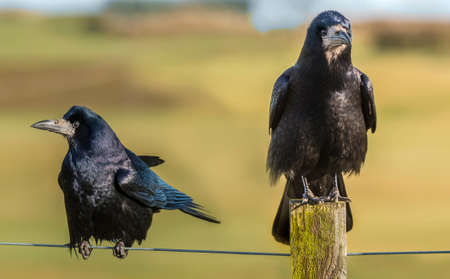 Rooks, perched on a post and wire, close up Stock Photo