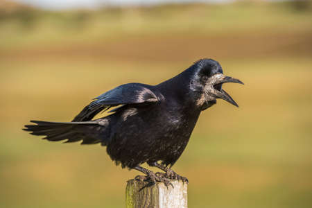 Rook, perched on a post, close up, squawking