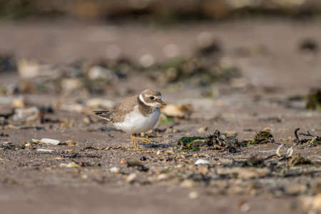 ringed: Ringed plover, Charadrius hiaticula, standing on the beach