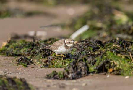 ringed: Ringed plover standing on the seaweed on the beach