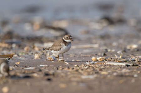 plover: Ringed plover standing on the beach in the Autumn