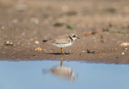 Ringed plover standing on the shore line, in front of the sea