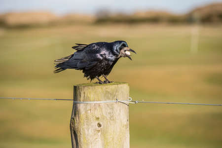 Rook, perched on a post, eating, close up Stock Photo