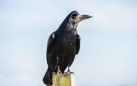 corvus: Rook, perched on a post, close up