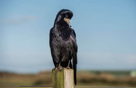 Rook, perched on a post, grooming, close up