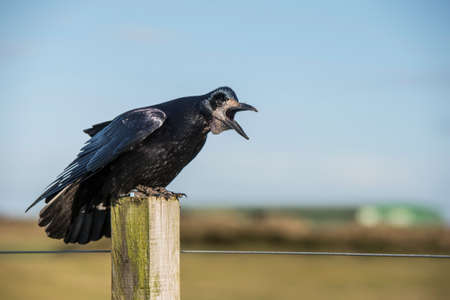 Rook, perched on a post, squawking, close up