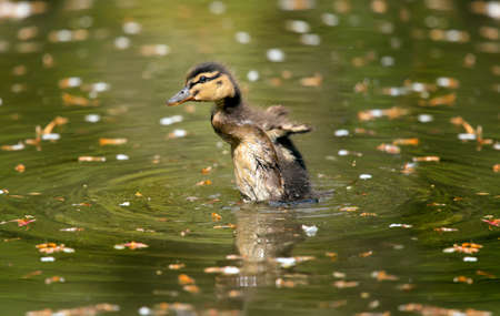 displaying: Mallard duckling displaying on a pond, close up