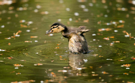 exhibiting: Mallard duckling displaying on a pond, close up