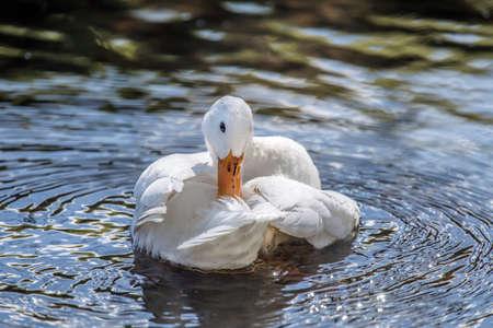 preening: Pekin duck, in the river preening and washing itself Stock Photo