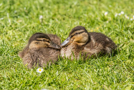 Mallard ducklings on the grass, close up Stock Photo