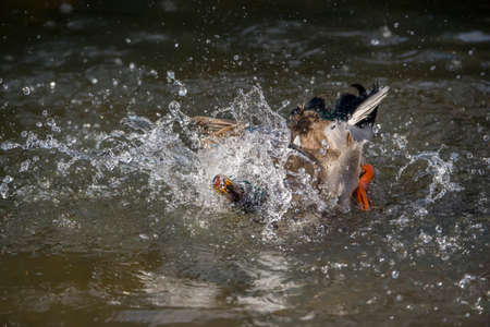 displaying: Mallard male, displaying on a river, close up
