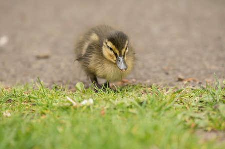 exhibiting: Mallard duckling walking onto the grass, close up