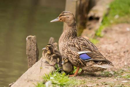 Mallard mum and ducklings at the edge a pond