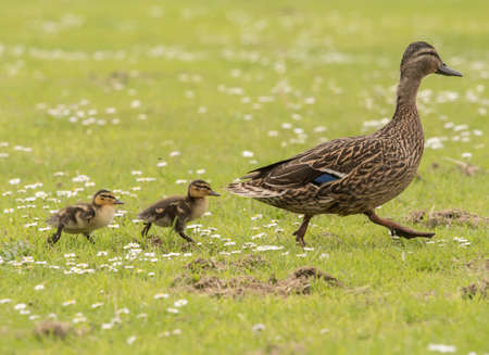 Mallard mum and ducklings walking across the grass