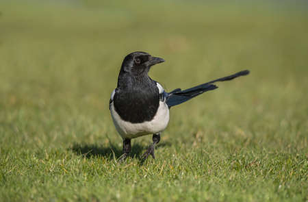 pica: Magpie standing on the grass, close up