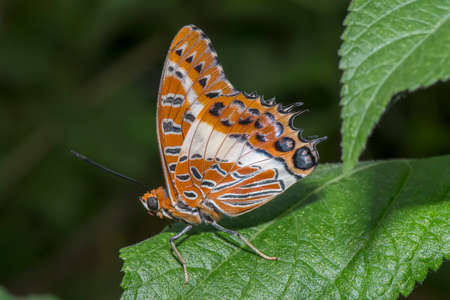 White-barred emperor butterfly perched on a leaf Stock Photo