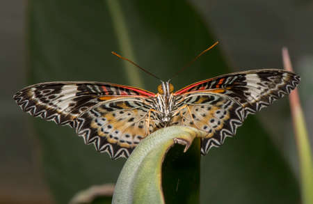 lacewing: Leopard Lacewing perched on a leaf close up Stock Photo