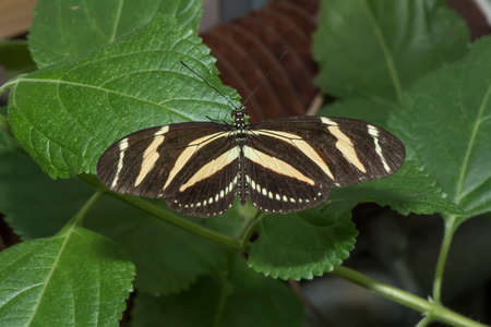 Zebra longwing perched on a leaf