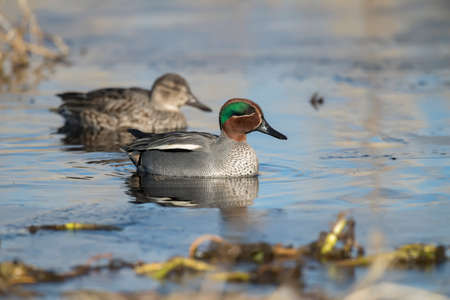 Teal on a frozen loch in Scotland 版權商用圖片