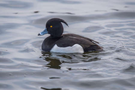 Tufted duck, male, on a loch, close up